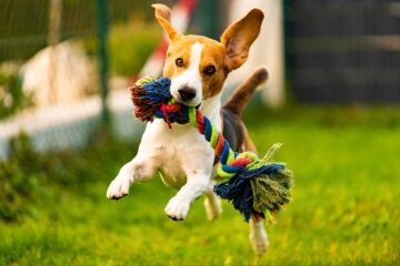 Beagle shown with a best selling pet product and dog toy